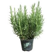 Marché Floral - Rosemary in a pot - 16 cm - Green