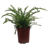 "Assorted Fern Plant - 4"" Pot"