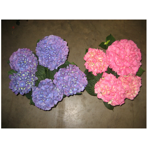 Hydrangea in 6.5-in Pot - Assorted Colours