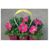 Petunias «Wave», assorties, 6/pqt