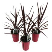 Dracaena rouge «Red Star», 4 1/2""