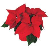 Poinsettia. Vanderveen's Greenhouses, couleur assortie, pot de culture 4,5 po