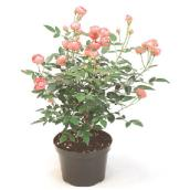 Mini Rose Bush