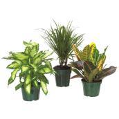 """Plante tropicale assortie, pot de 6"""""""