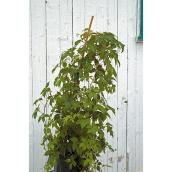 Vine in 1-gal. Pot - Assorted