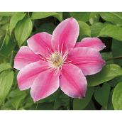 Clematis - 1-gal. Pot - Assorted Colours