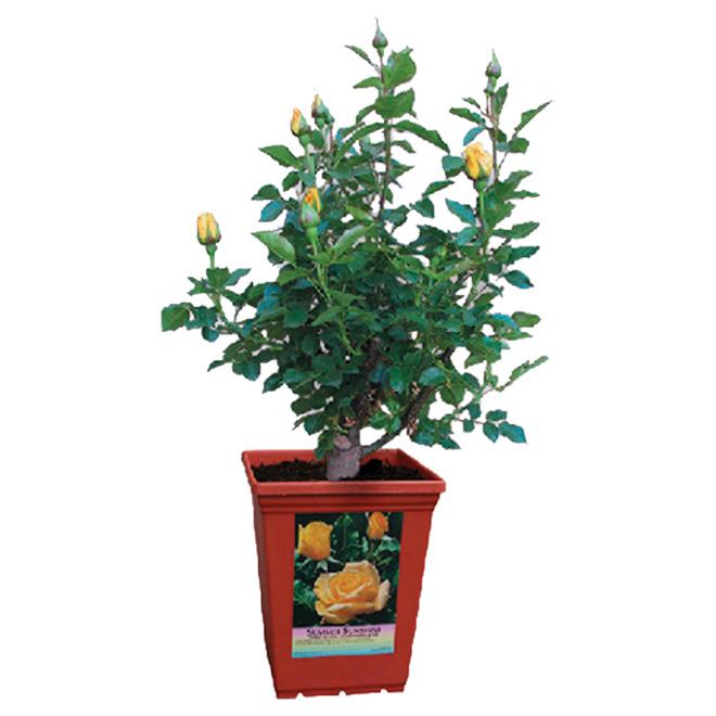 Clearview - Rosebush Pot - 1 Gallon