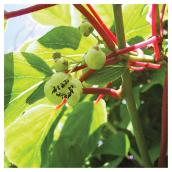 Actinidia Kiwi, Clearview, vigne, vivace, 1g