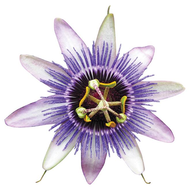 Passiflora - Vine - 1-gal. - Assorted