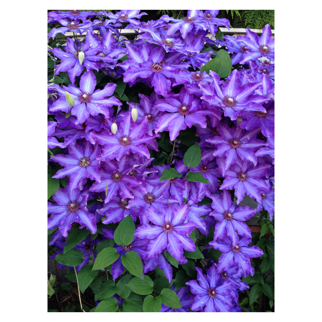 Clearview - Clematis Royal Cascade(TM) - 1 Ga