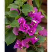 Bougainvillea - 1-gal. - Assorted