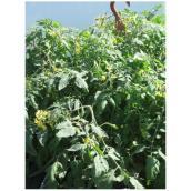 Plant de tomates cerises