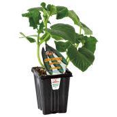 Plants de légumes «Gourmet»