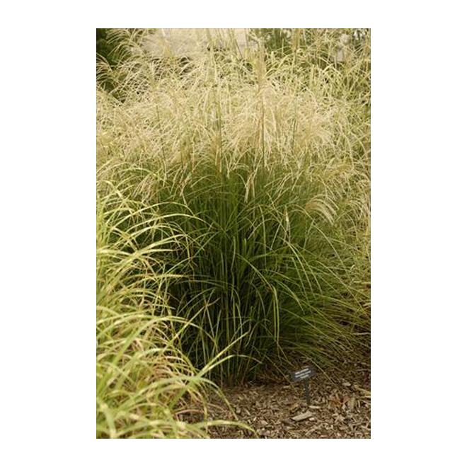 Assorted Grasses - 20 cm Pot