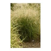 Assorted Grasses - 20 cm Pot