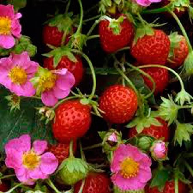 Plant de fraisier Toscana, panier suspendu de 25 cm