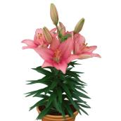 Oriental Lily