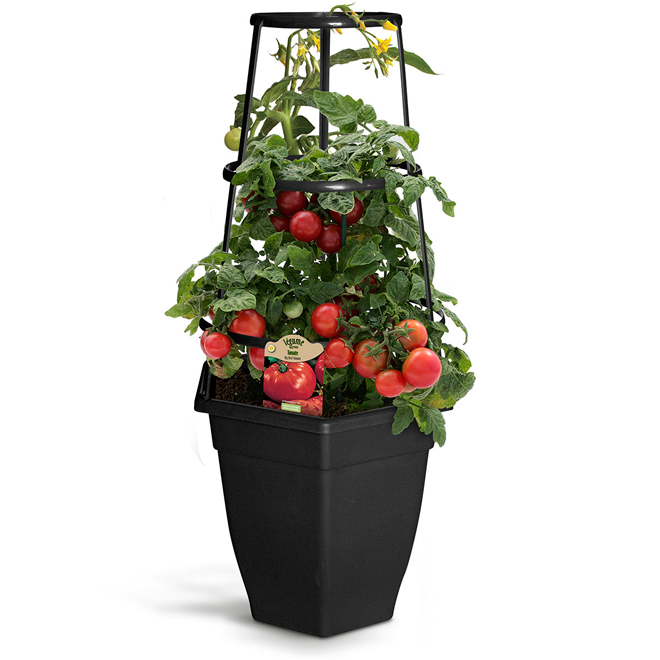 Tomato plant in Patio Pot - 12-in
