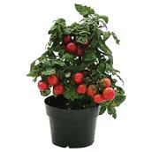 Plant de tomates «Sweet'n'Neet»