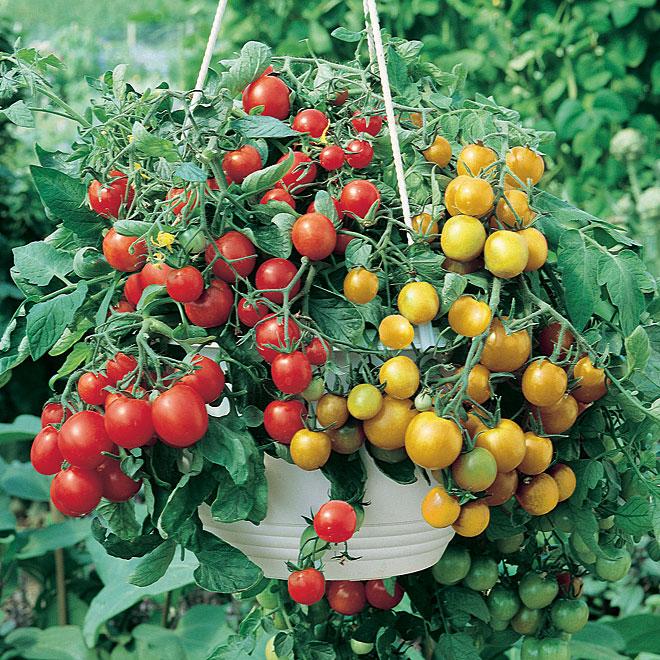 Plant de tomates en panier suspendu