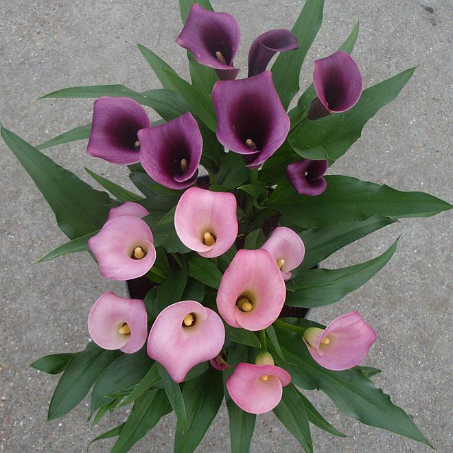 Callas Lilly - 2 colours - 8-in Po