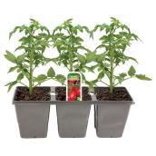 Tomato Plant - 3-Pack