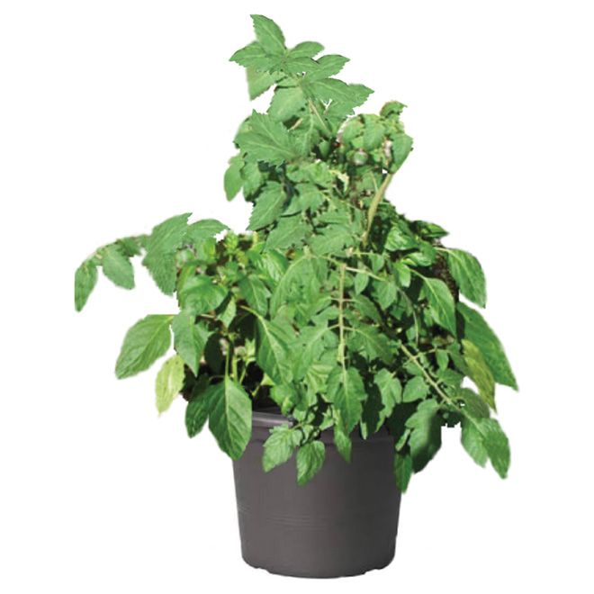 Assorted Mature Tomato Plant - 8-in