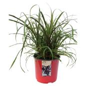 Annual Grasses - New Style - 20 cm Pot
