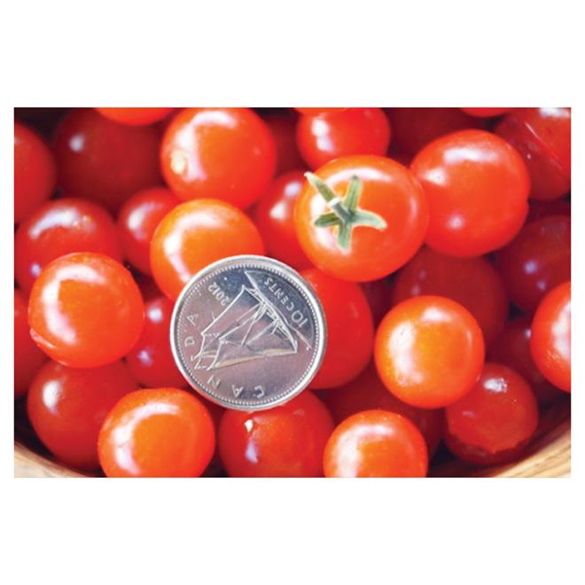 Pearl Tomato Plant - 7-in