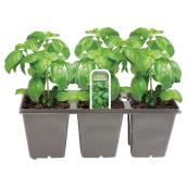 Assorted Basil Plant - 3-Pack