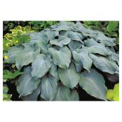 Hosta géant, 2 gallons, assorti