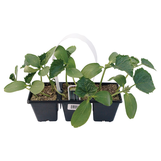 Assorted Cucumber Plant - 3-Pack