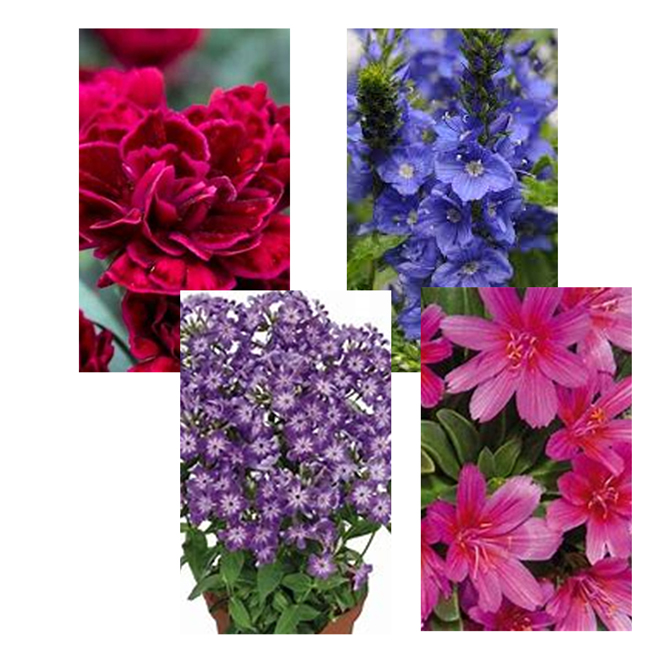 Assorted Perennials Collection - 17 cm