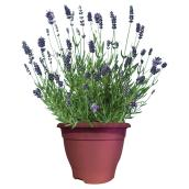 "Lavender Plants - 7"" Pot - Assorted"