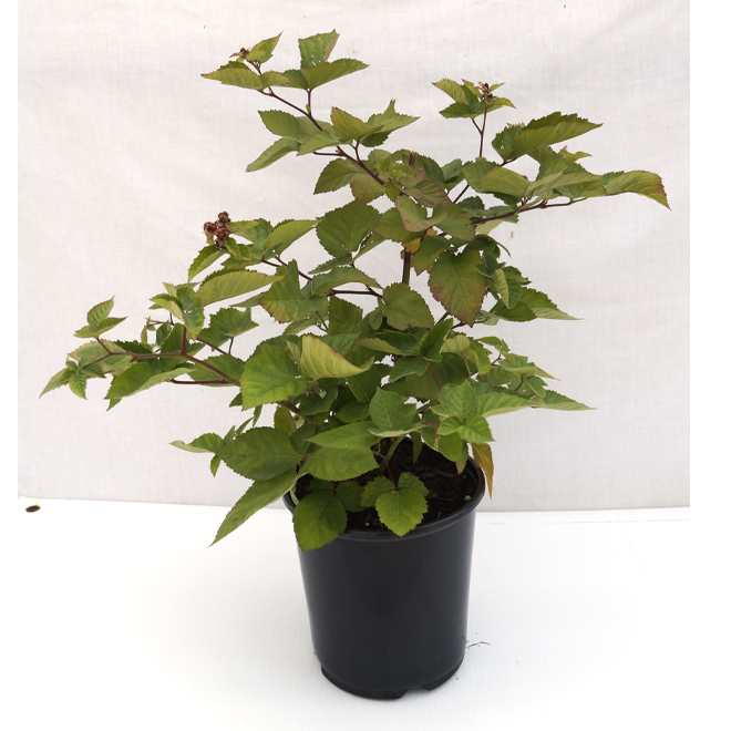 Small Fruit Plant - 7.5""