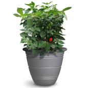 Plant de piments Primero, pot de 10 po