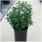 Fragrant Sarcococca - #1 Pot - Assorted