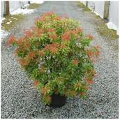 Inline Nurseries - Assorted Pieris - 3-gal. Pot