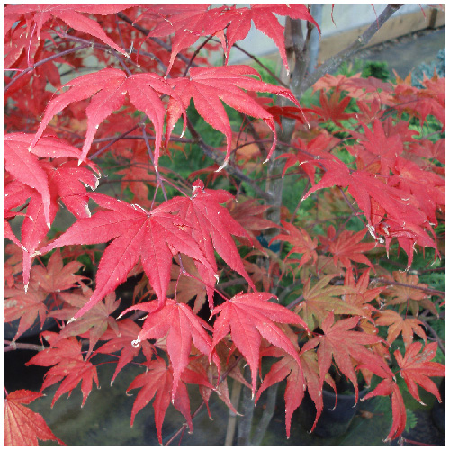 Ornamental Acer Maple Upright Tree in #2 Pot - Assorted