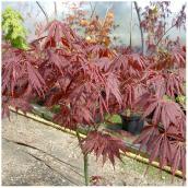 Érable ornemental Acer à port pleureur en pot n° 2, assorti