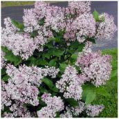 Lilac in #1 Pot - Assorted Colours