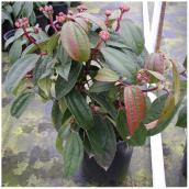 Inline Nurseries David Viburnum - #1 Pot