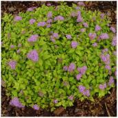 Plant de spirée en pot nº 1, assorti