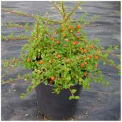 Assorted Cotoneaster - # 1 Pot