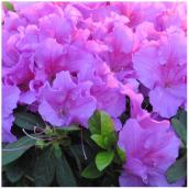 Inline Nurseries Assorted Azaleas - 1-gal.