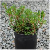 Arctostaphylos (Raisin d'ours), pot # 1