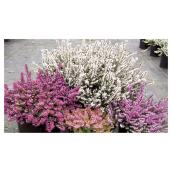 Heather in #1 Pot - Assorted Colours