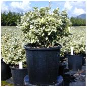 Inline Nurseries Euonymus Emerald and Gold - #1 Pot
