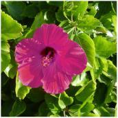 Hibiscus assorti en pot