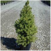 Inline Nurseries Dwarf Alberta Spruce in  #1Pot